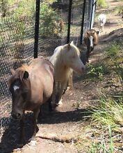 4 MINITURE HORSES FOR SALE Blackwood Moorabool Area Preview