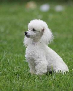 2 Year Old Toy Poodle