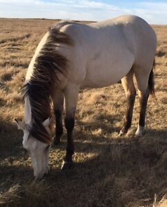 Registered AQHA Yearling Dun