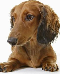I WANT: Mini LONG HAIRED DACHSHUND -- 8 months or older M/F