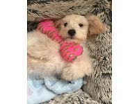 Poodle Puppie 14 weeks old Boy