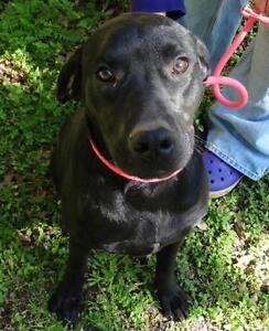 Jethro is a 2 year old lab mix