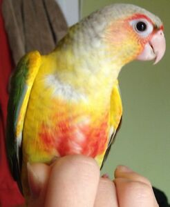 HAND FED & HAND TAME BABY CONURES