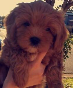 Toy Cavoodle Quality pups Crookwell Upper Lachlan Preview