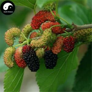 Mulberry Trees for Sale