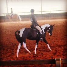 Black & White Pinto Paint Mare 4yrs Reg Laidley Lockyer Valley Preview