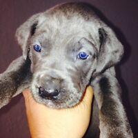 Just In time For XMAS 100%Euro Blue Great Danes