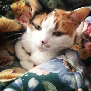 FREE FIXED OLDER CALICO CAT TO GOOD HOME