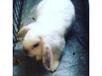 male Rabbit white