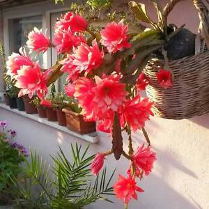 Beautiful Epiphyllum climbing cacti, orchid cacti and leaf cacti Heidelberg Banyule Area Preview