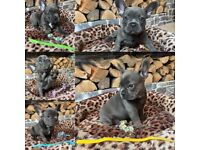 Only 3boys left blue quality french bulldog puppies