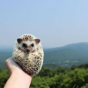 LTB: Looking to buy a hedgehog