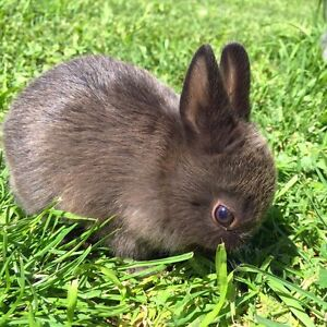 Young Dwarf rabbits for sale Ferntree Gully Knox Area Preview
