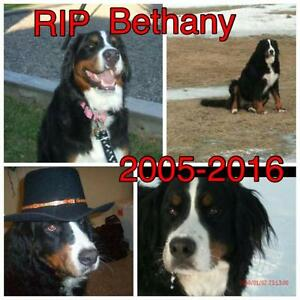 Looking for a bernese puppy...need help finding someone who has