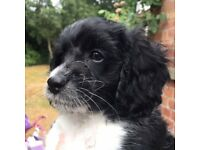Beautiful Cavapoo Puppies for Sale