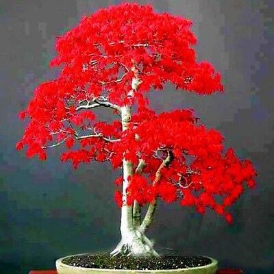 Summer Red Maple Tree (Exotic Japanese Red Maple Tree Seed Perennial Indoor Bonsai Plant 30 Pcs /bag )
