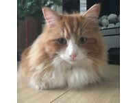 CAT MISSING FROM MAIDENHEAD