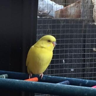 Baby budgies outdoor aviary yellow more to come Seaford Frankston Area Preview
