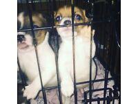 Puppy jack Russel cross yorkie