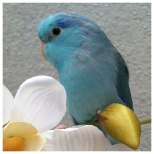 ❤♥☆♥ Parrotlets ♥ Babies with Cage and Food ♥☆♥❤ Cambridge Kitchener Area image 6