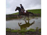 8yo 15.2hh riding club horse