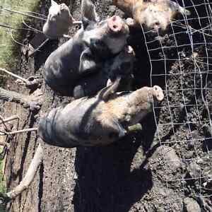 Breading Pair of Pigs and weaners - Berkshire Tamworth Cross