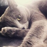-LOST RUSSIAN BLUE CAT-