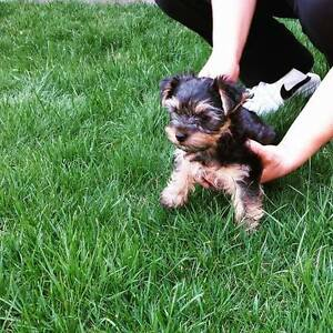 Beautiful and Smart Pure Yorkshire Terrier for sale! (Yorkie)