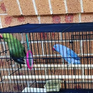 Two beautiful Indian Ringnecks Eagle Vale Campbelltown Area Preview