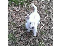 Westie pup for sale