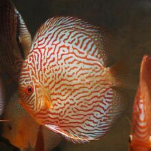 FORREST DISCUS- THIS WEEK special prices see below high grade Como South Perth Area Preview