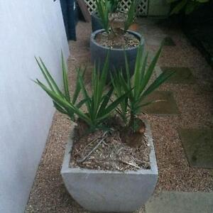 Yucca and Agave plants and garden river rocks - Various sizes Bayview Heights Cairns City Preview