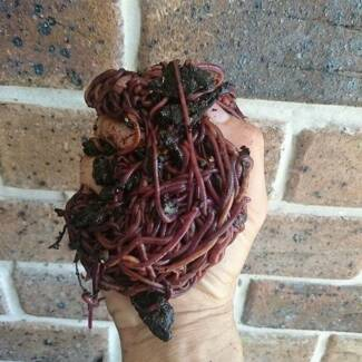 Homebred composting worms