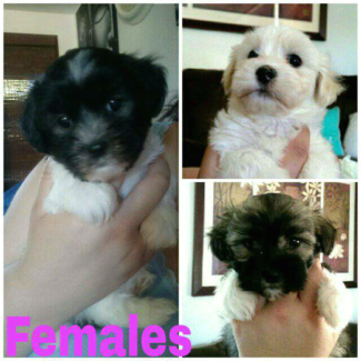 7 Beautiful Maltese x Shih Tzu puppies