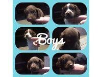 Springador Pups, 6 boys & 2 girls. Beautiful pups