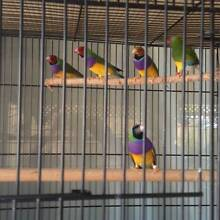 Gouldian Finches Eastern Heights Ipswich City Preview