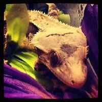 RTB male crested gecko