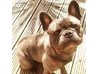 Blue French Bull Dog - male
