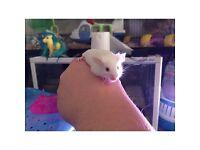 Male fancy mouse