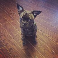 10 month old French Bulldog/Pug