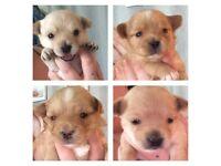 Chorkie Puppies 💙