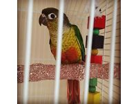 Amazing Conure talking Parrot 12 Weeks Only £135