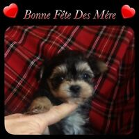 Morkie Tres tres Petit.qui atteindra moin de 2 1/2 lbs adulte