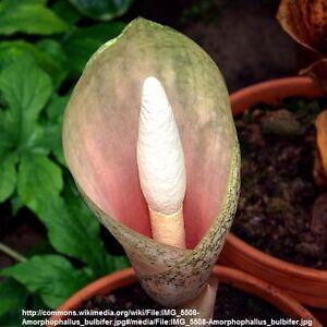 Voodoo Lily: Flowers, Trees & Plants | eBay