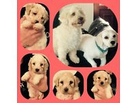 Beautiful Cavapoochon pups for sale