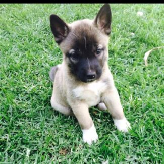 Akita cross staffy $300 Surrey Downs Tea Tree Gully Area Preview