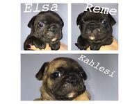French/bulldog cross puppies
