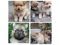 Miniature Pomeranian pups
