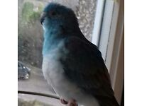 A blue budgie with her cage