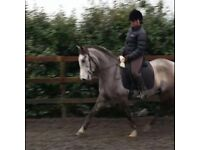 Kind, talented Spanish mare, 15h, 6yrs old